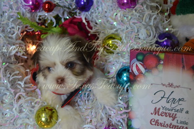 2016 Morkies -SOLD