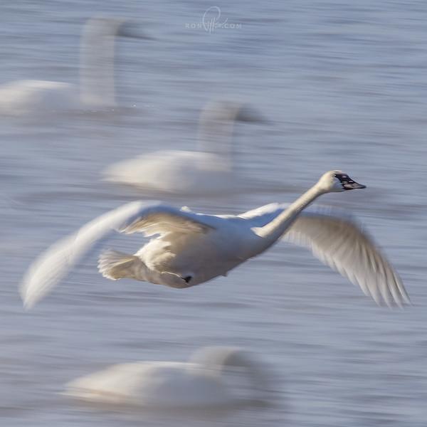sm swans_M4D4581 3.jpg