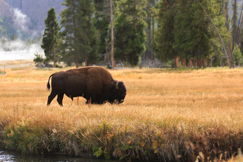 Buffalo along the Firehole River 004