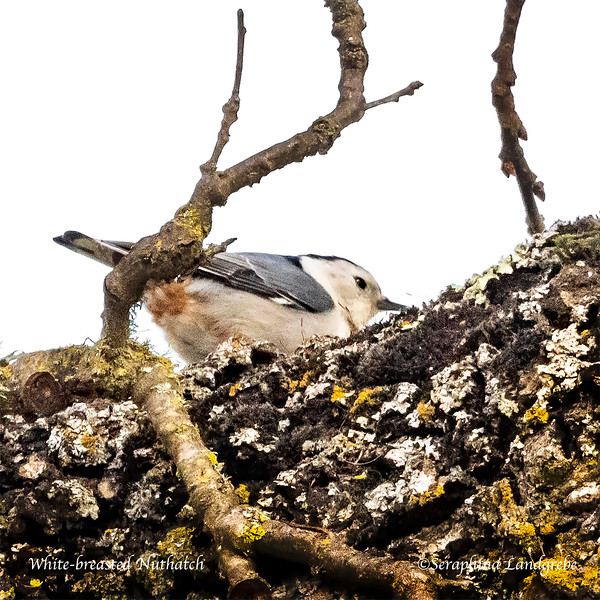 _DSC3861White-breasted Nuthatch.jpg