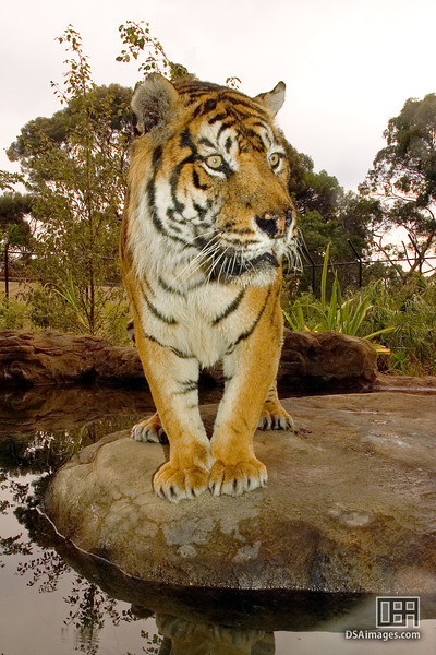 Male Sumatran Tiger at the Adelaide Zoo