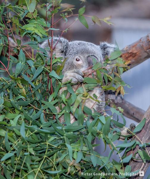 Koalafornia-10.jpg