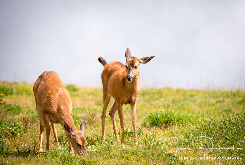 Deer, Hurricane Ridge, Olympic National Park