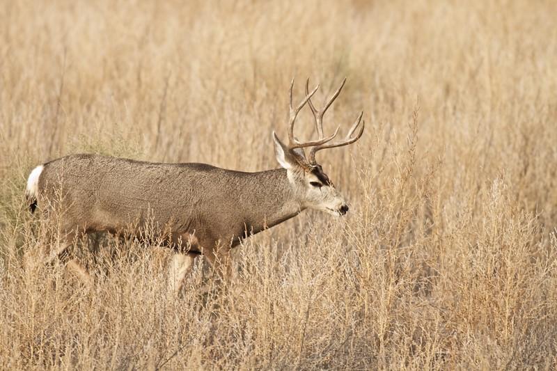 Mule Deer buck Bosque del Apache NWR Socorro NM IMG_0007506.CR2.jpg
