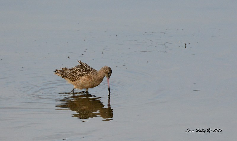 Marbled Godwit  - 12/19/2014 - Robb Field