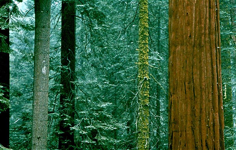 1403 Great Trees Mariposa Grove Yosemite 1974.jpg