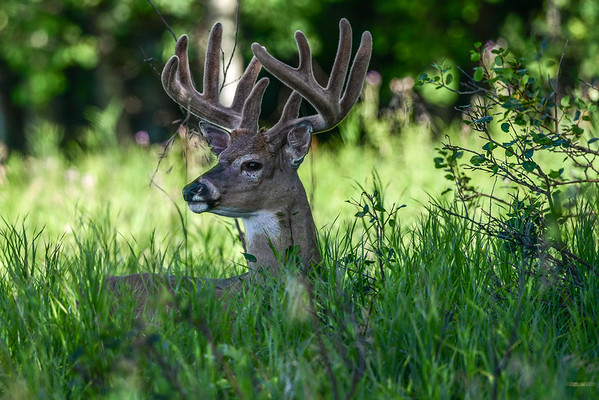 8-20-16 *White Tail Deer - In Velvet
