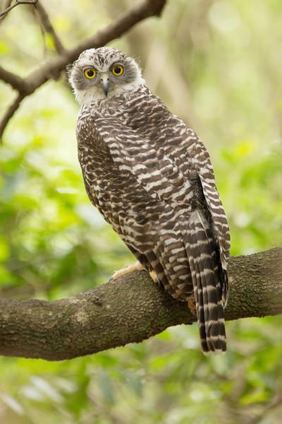 Powerful Owl owlet
