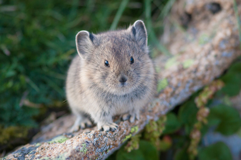 Young Pika, Rocky Mountain National Park