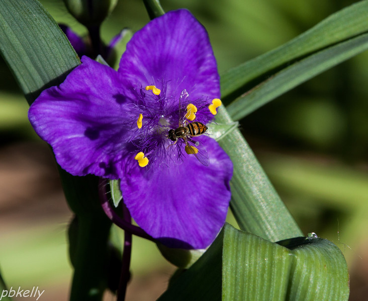 June 5.  Was planning a photo of the Spiderwort flower, but got a bonus!  Hoverflies are one of my favorites.