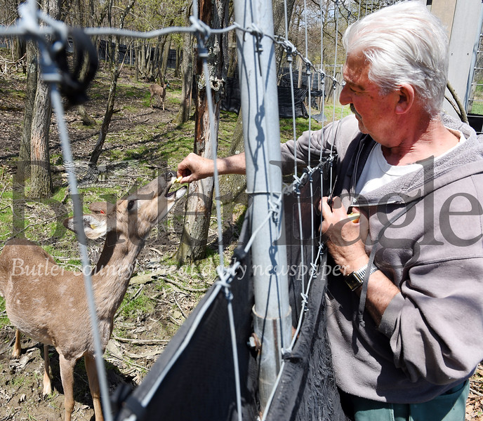 Harold Aughton/Butler Eagle: Rocco Sloboda of Fantasy Whitetails in Boyers feeds an apple to one of his breeder does.