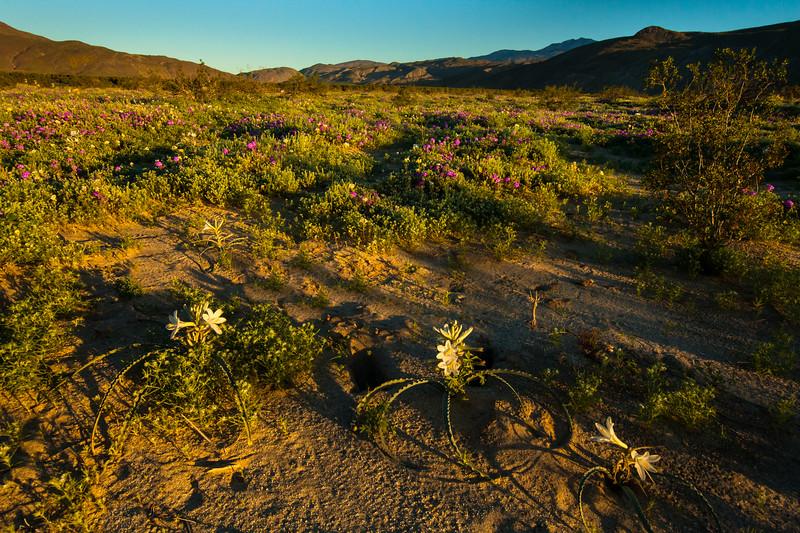 California Lilies at sunrise. Anza Borrego State Park