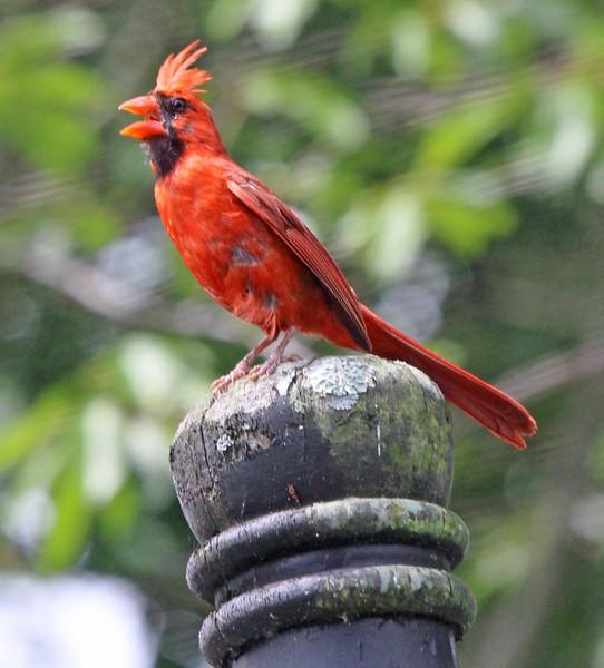 Cardinal calling