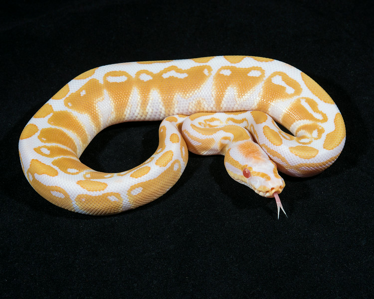 Albino M0114, sold, Scott