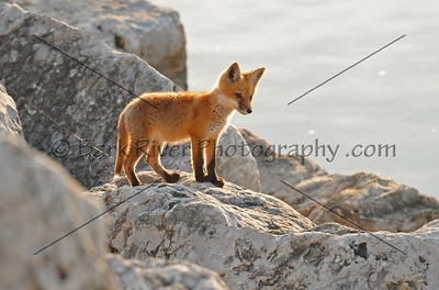 Fox  -Adults and Babys