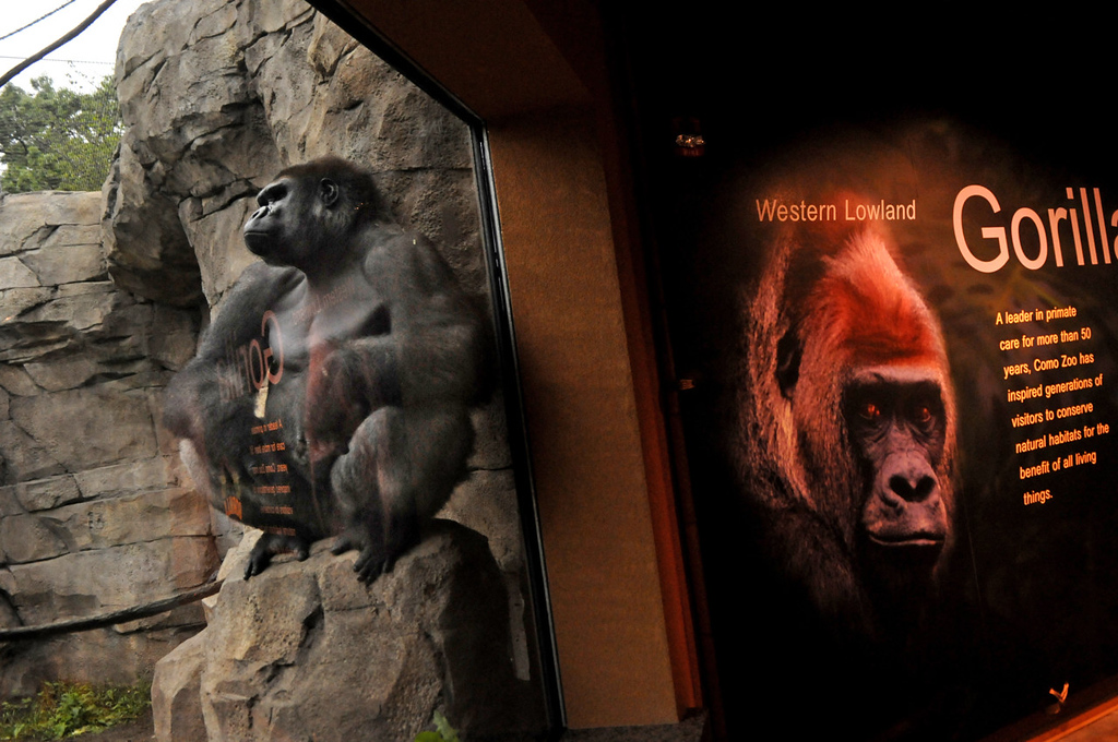 . A gorilla plants itself on a rock next to an indoor viewing spot at Gorilla Forest. (Pioneer Press: Jean Pieri)