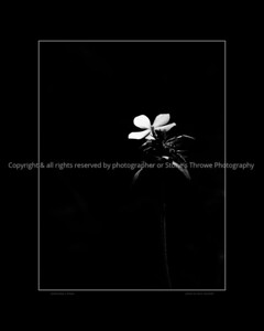 015-flower-wdsm-11apr12-16x20-bw-bbp-4987