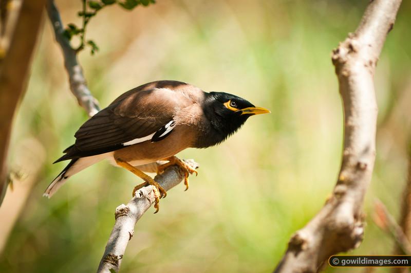 Indian myna bird - an introduced pest. Other angles available.
