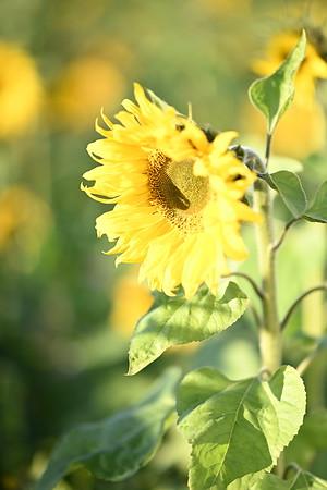 2020 Sunflowers Vuillerens