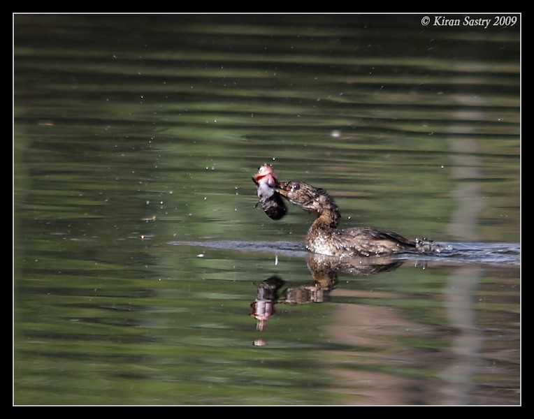 Pied-Billed Grebe Juvenile, Santee Lakes, San Diego County, California, October 2009