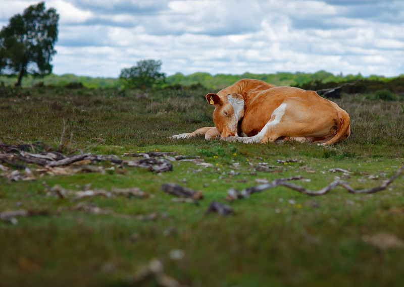 Sleeping Cow