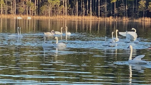 2021-01 Trumpeter Swans