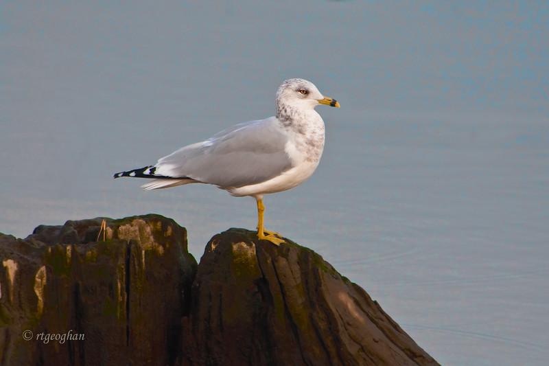 Nov 14_RingBilled Gull_8250.jpg