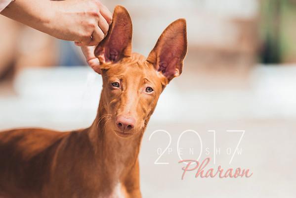 Pharaoh hound Open Show, 2017