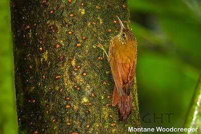 Montane Woodcreeper, Ecuador