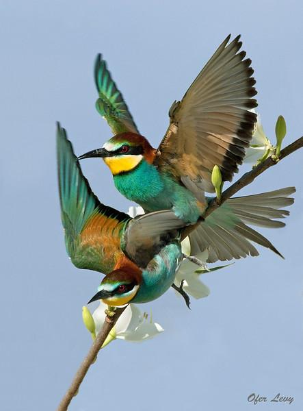 Common Bee-eater mating MASTER.jpg