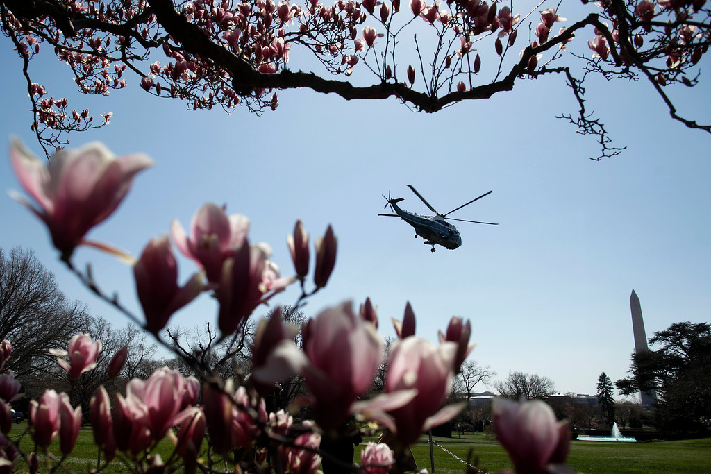 . The Marine One helicopter is framed by blooming Magnolia trees as President Barack Obama lifts off from the South Lawn at the White House in Washington, Wednesday, April 3, 2013, as he travels to Denver and San Francisco. (AP Photo/Charles Dharapak)