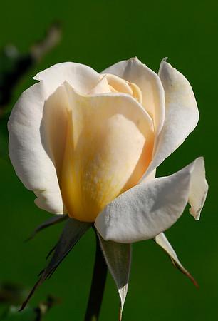 Roses June 2006