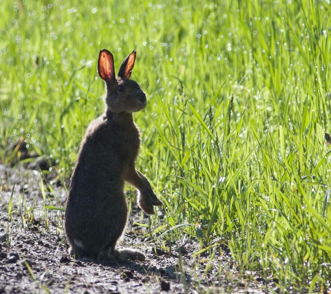 Snowshoe Hare young juvenile Sax Road Sax-Zim Bog MN IMG_9318.jpg
