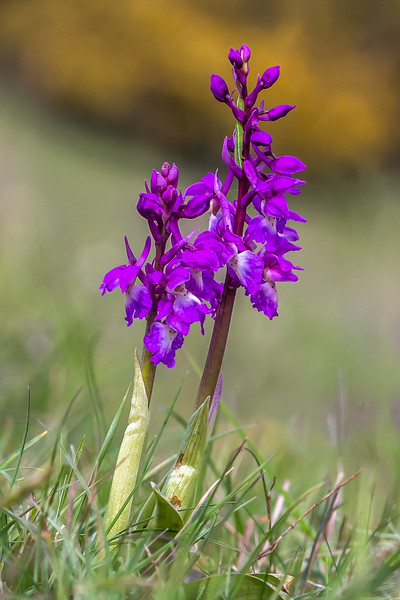Ian Peters - Green Winged Orchid Anacamptis moro and Caterpillar, probably an Orange Tip Anthocharis cardamines.jpg