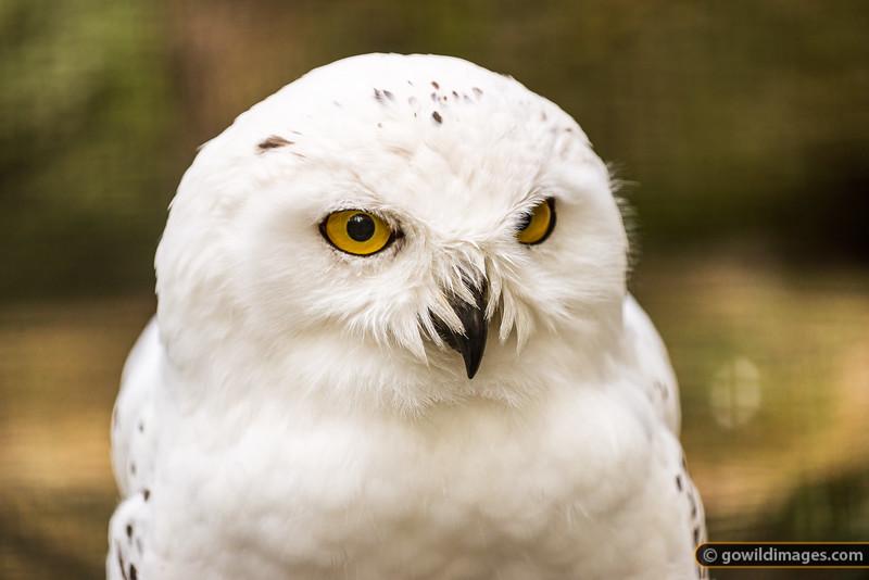 Snowy Owl Detail