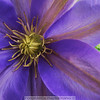 5-21-11  I've been kept busy the last several days with a garage sale.  It's nice to get back to posting.  This Clematis is in my front yard it only started to bloom yesterday.  Hope everyone's weekend is going well.  Thanks for the kind comments on my wall mural shot.