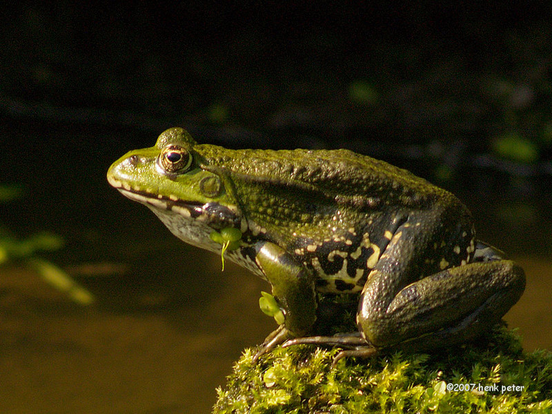 Henk Peter Sunbathing Frog