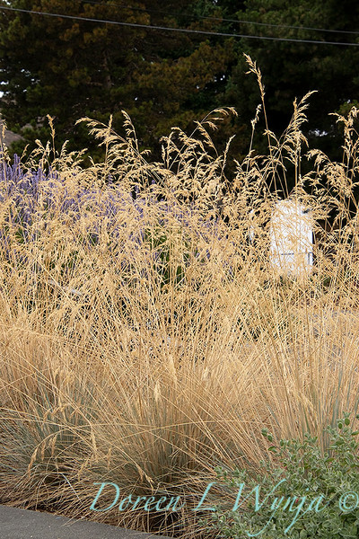 Festuca glauca 'Elijah Blue' – grass landscape_1345.jpg