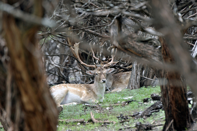Fallow Deer 01.jpg