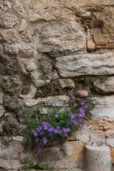 Campanula growing in a wall, Var