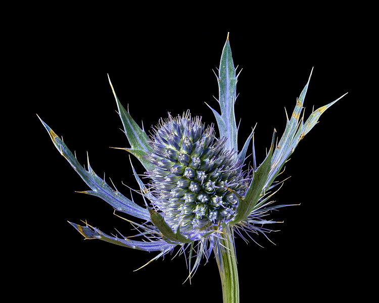 Sea Holly Eryngium
