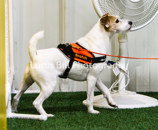 Parson Russell Terrier KY