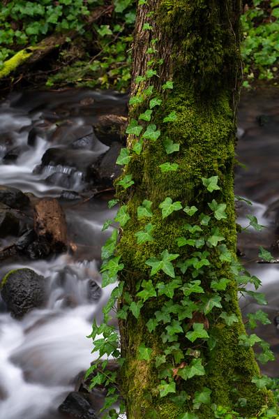 Ivy on Pine, Starvation Creek