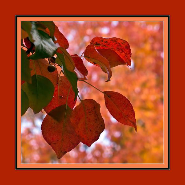 Pear tree foliage in autumn - framed