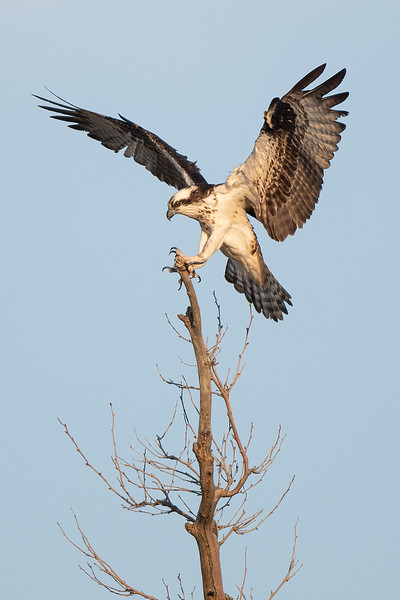 #1579 Osprey