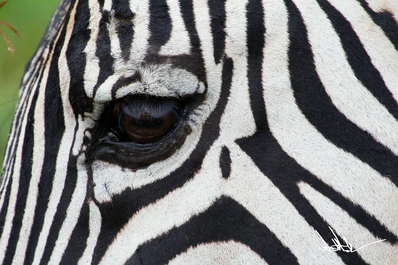 ZebraS-35.jpg