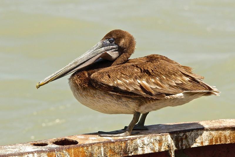 Brown Pelican (Pelecanus occidentalis) juvenile