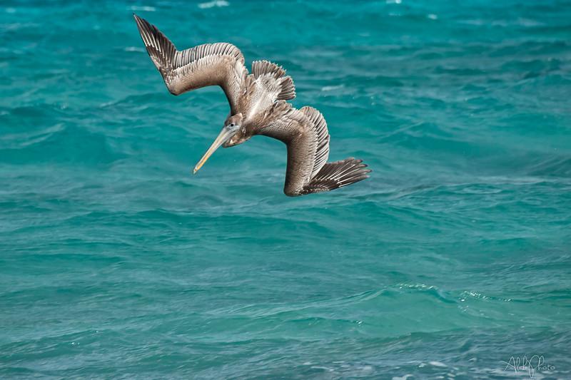 Pelican_10