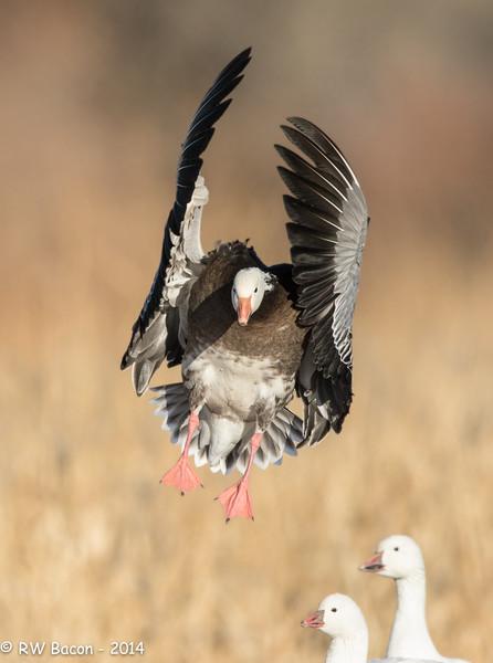 Blue Goose Wings Up.jpg