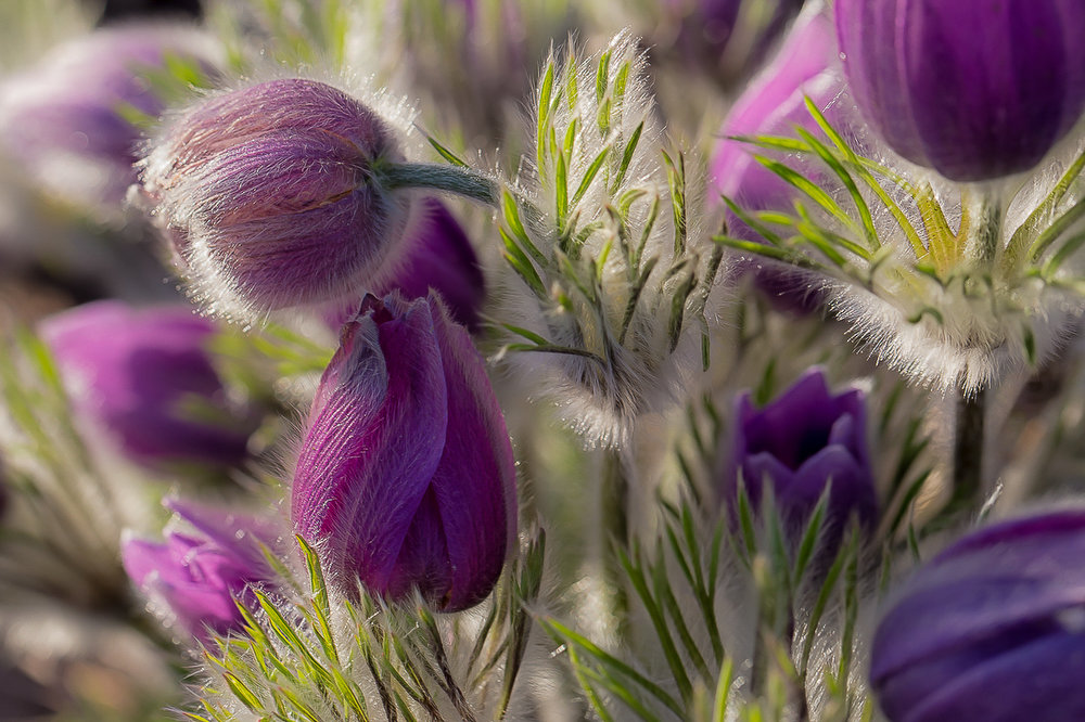 . First Place: John Van Stelton shot these pasque flowers in morning light to accent their softness. (Photo by John Van Stelton/Submitted to The Denver Post for Growm Photo Contest 2014)